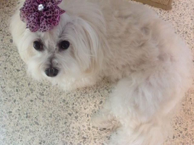 picture of a beautiful white dog with a purple decoration on her forehead
