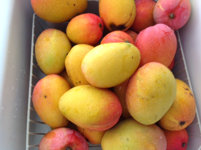 basket of fresh, whole mangoes