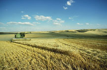 Combine harvesting barley in a very large field