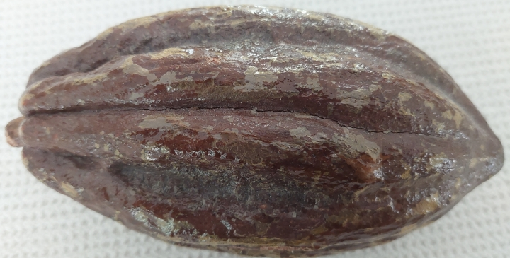 a dried version of a cacao pod