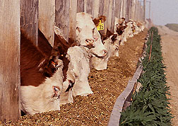 long line of cattle feeing at a trough